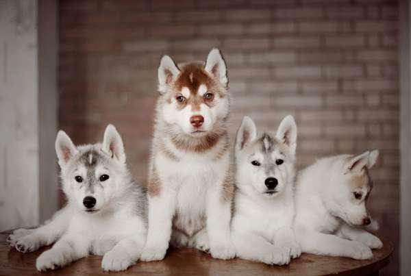 anjing husky